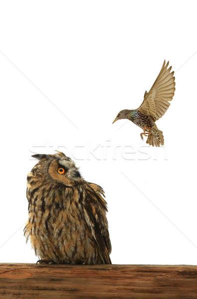 フクロウ 自然 鳥 イーグル 白 スタジオ ストックフォト © bazilfoto