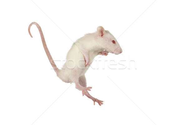 Rat Stock photo © bazilfoto