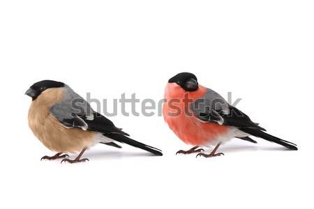 Zwei Schönheit orange Tabelle Feder rot Stock foto © bazilfoto