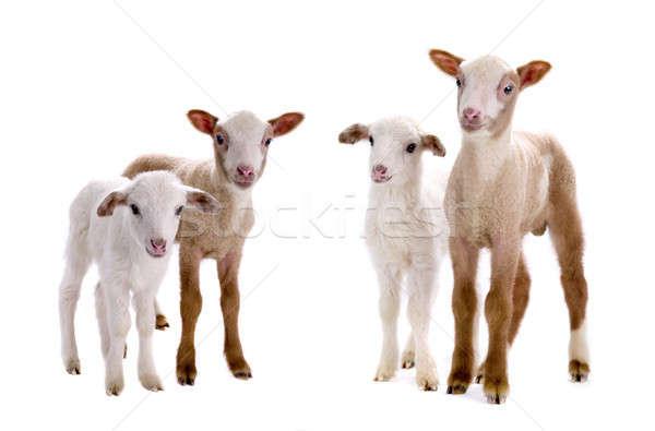 little sheeps  Stock photo © bazilfoto