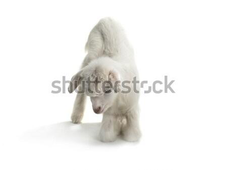 ヤギ 子供 孤立した 白 子 動物 ストックフォト © bazilfoto