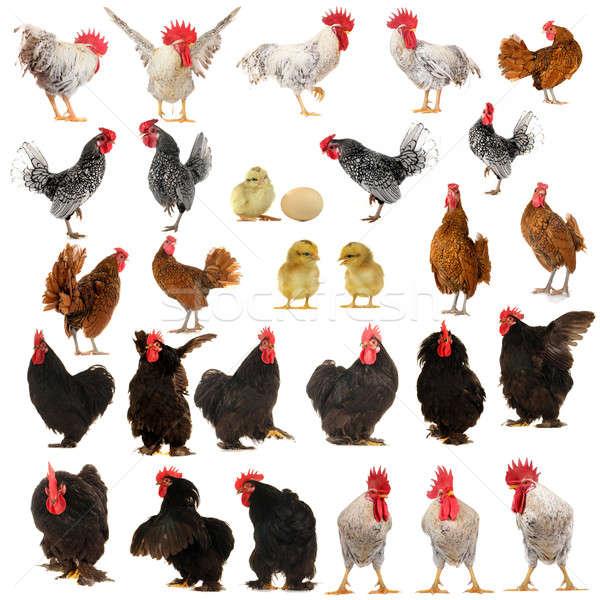 cocks Stock photo © bazilfoto