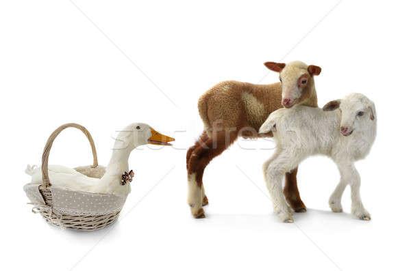 duck and sheep Stock photo © bazilfoto