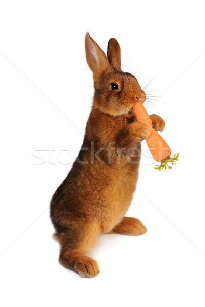 brown rabbit Stock photo © bazilfoto