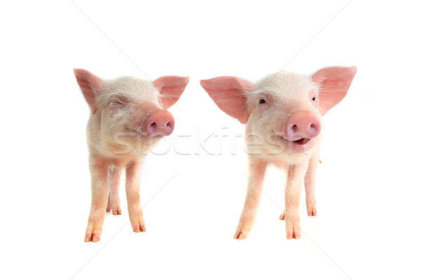 two smile pig  Stock photo © bazilfoto