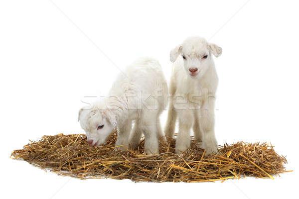two goat Stock photo © bazilfoto