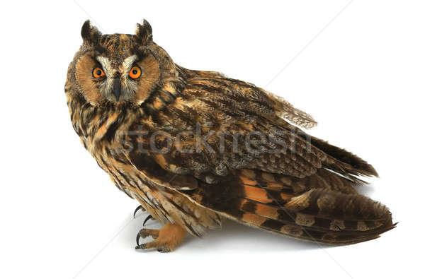 フクロウ 白 イーグル 動物 動物 スタジオ ストックフォト © bazilfoto