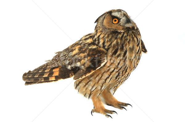 フクロウ 白 自然 背景 鳥 イーグル ストックフォト © bazilfoto