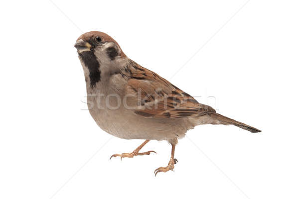 sparrow Stock photo © bazilfoto