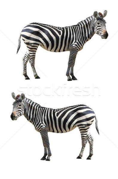 シマウマ 白 アフリカ 黒 女性 動物 ストックフォト © bazilfoto