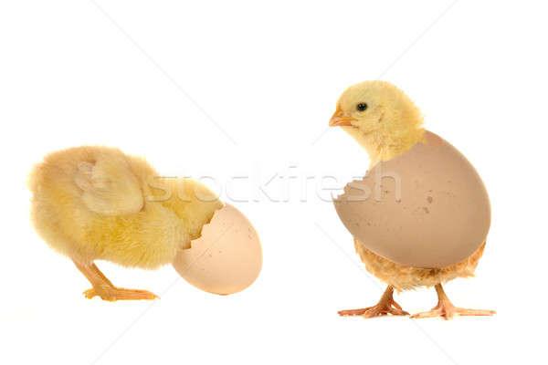 Stock fotó: Csirke · fehér · tojás · toll · hús · fiatal