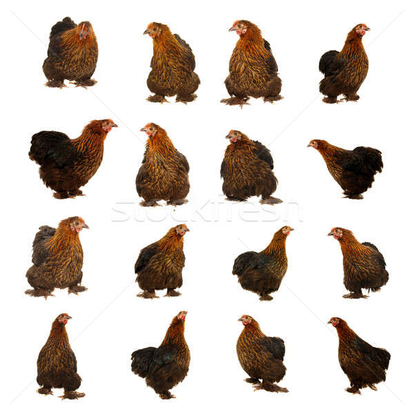 black hen Stock photo © bazilfoto