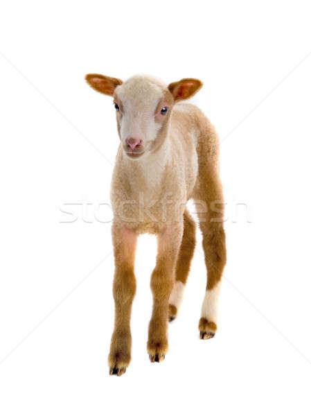 Mały owiec biały tle Biblii gospodarstwa Zdjęcia stock © bazilfoto