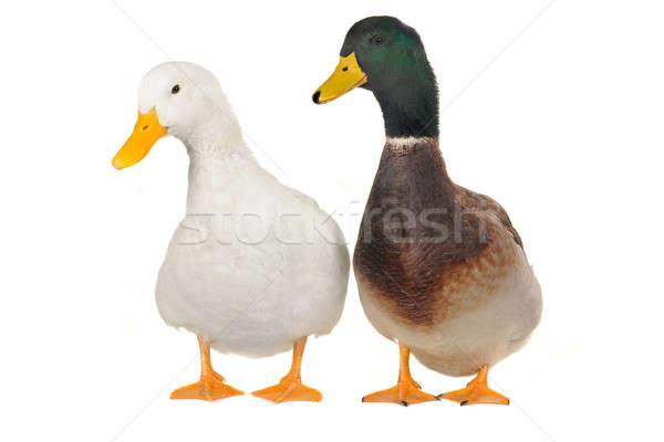 two duck white Stock photo © bazilfoto