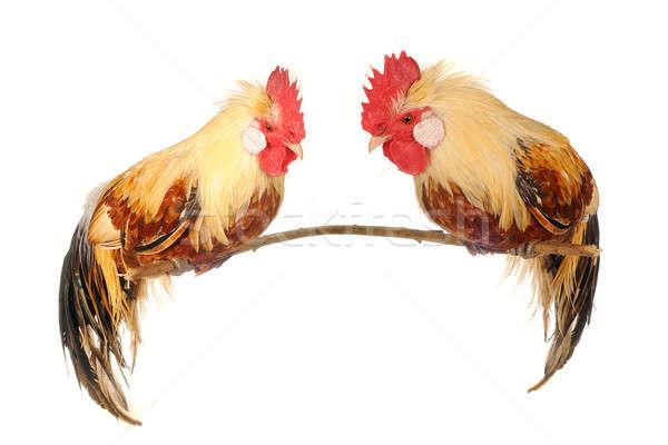 cock Stock photo © bazilfoto