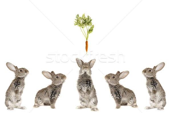 Photo stock: Cinquième · gris · lapin · blanche · amusement · ferme