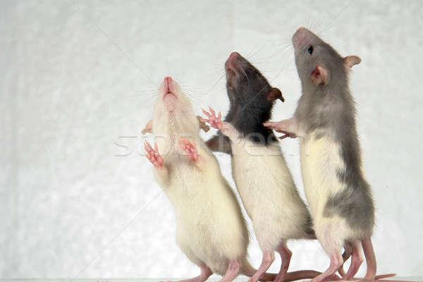Rats Stock photo © bazilfoto
