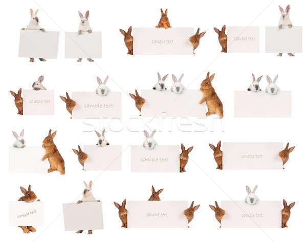 Rabbit Stock photo © bazilfoto