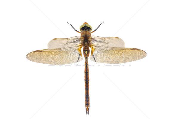 Libel geïsoleerd witte schoonheid kleur vliegen Stockfoto © bazilfoto