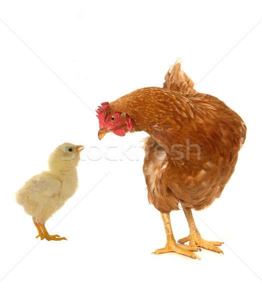 hens Stock photo © bazilfoto