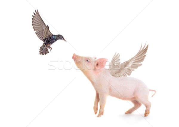 свинья птица крыльями белый студию весны Сток-фото © bazilfoto
