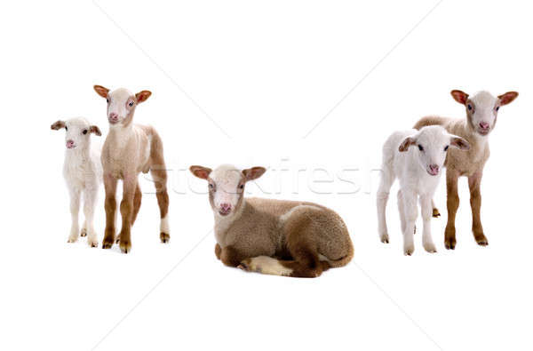 little sheeps  Stock photo © bazilfoto