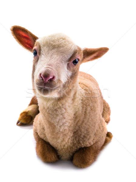 Pequeno ovelha branco fundo retrato estúdio Foto stock © bazilfoto