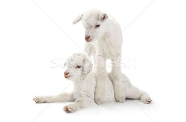 2 ヤギ 子供 日 孤立した 白 ストックフォト © bazilfoto