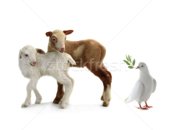 pigeon and sheep Stock photo © bazilfoto
