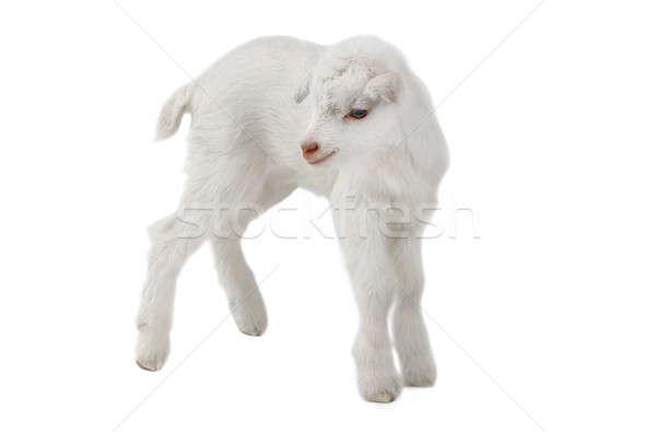 goat Stock photo © bazilfoto