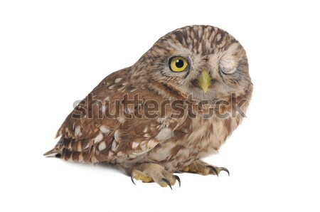 owl  Stock photo © bazilfoto