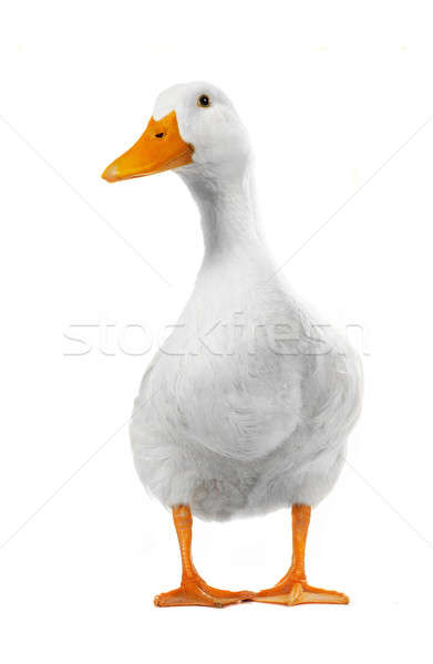 duck white Stock photo © bazilfoto