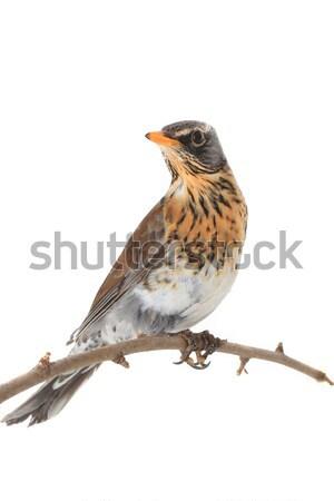 スズメ 鳥 表 羽毛 生活 美しい ストックフォト © bazilfoto