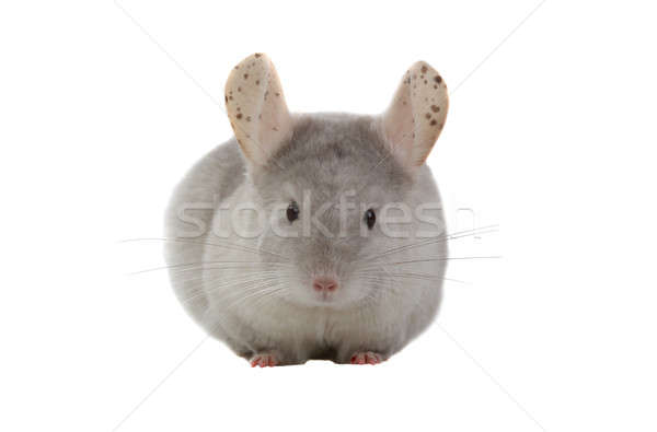 Chinchilla blanche alimentaire fond animaux studio Photo stock © bazilfoto