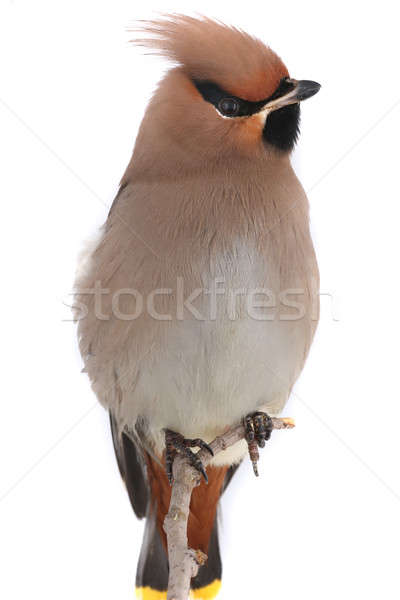 Stock photo: Bohemian Waxwing