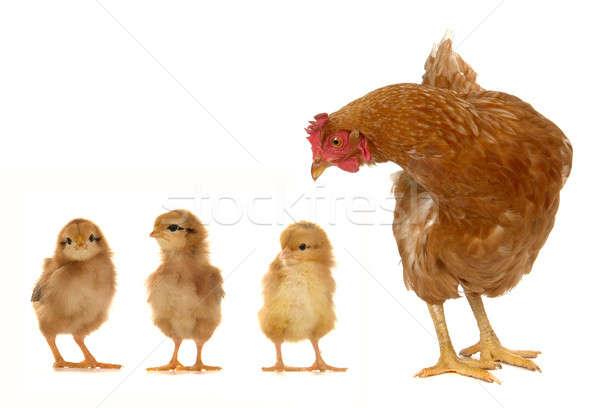 Tyúk fehér tojás toll hús Stock fotó © bazilfoto