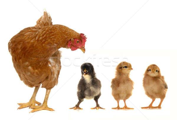 めんどり 雛 白 卵 羽毛 肉 ストックフォト © bazilfoto