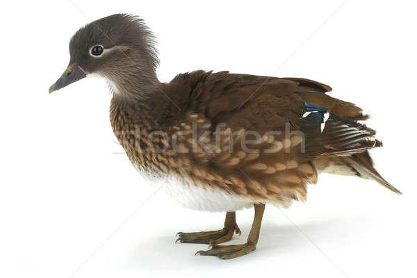mandarin duck Stock photo © bazilfoto