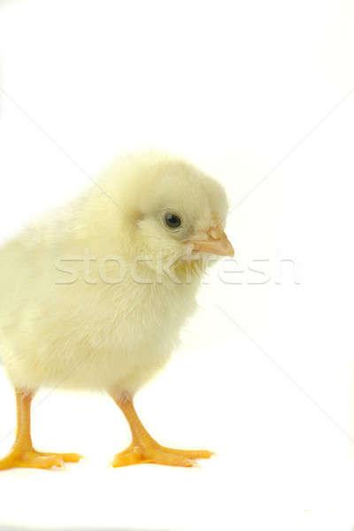chick Stock photo © bazilfoto