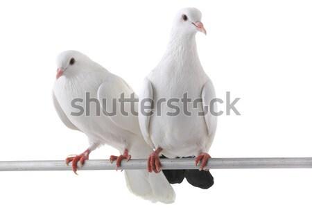 Two  duck Stock photo © bazilfoto