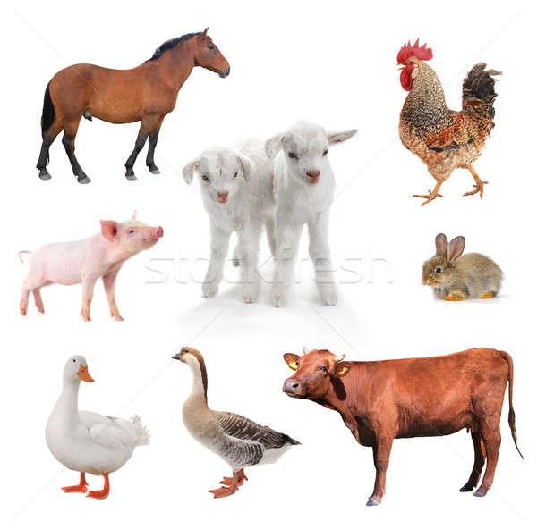 livestock Stock photo © bazilfoto