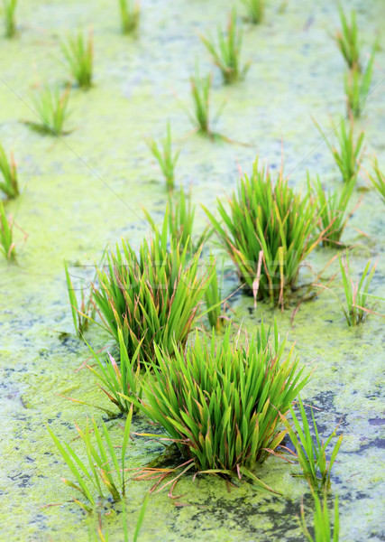 Green rice cultivation field Stock photo © bdspn