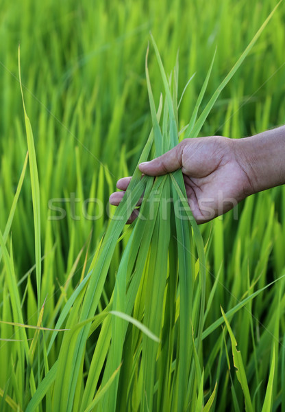 Stock fotó: Zöld · rizsföld · gazda · kéz · Banglades · tájkép