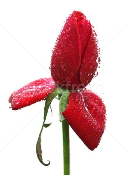 Rosa vermelha orvalho gotas branco jardim Foto stock © bdspn