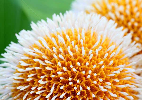 Virág Banglades természet levél háttér fehér Stock fotó © bdspn