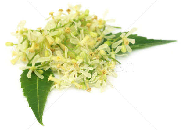 Medicinal neem flower and leaves Stock photo © bdspn