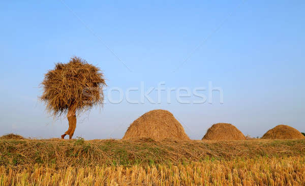Bangladeshi people carries  newly harvested paddy Stock photo © bdspn