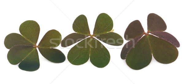 Clover leaves Stock photo © bdspn