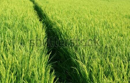 Green paddy field Stock photo © bdspn