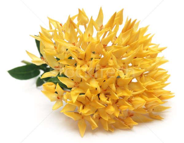 Yellow ixora Stock photo © bdspn
